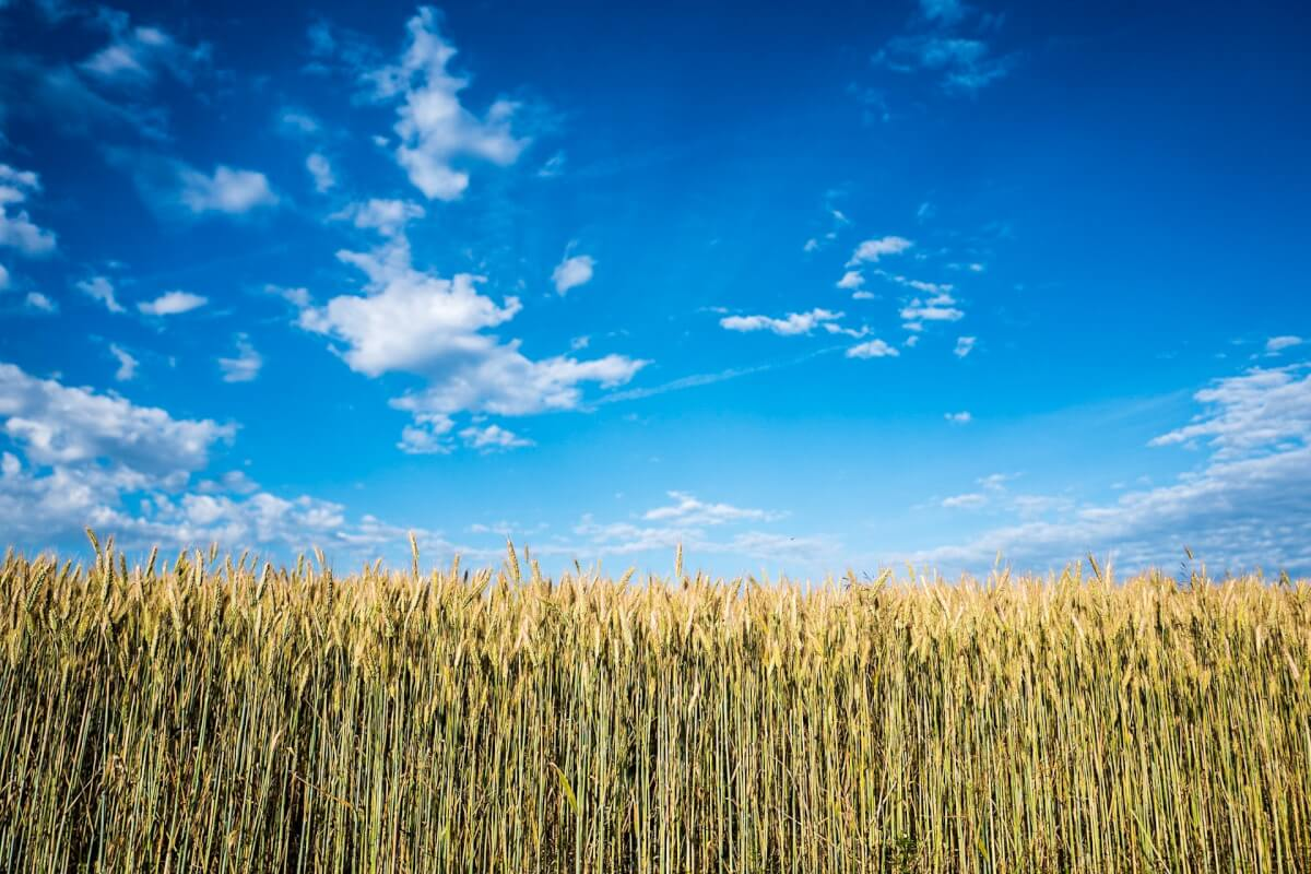 corn-field-at-daytime-759606